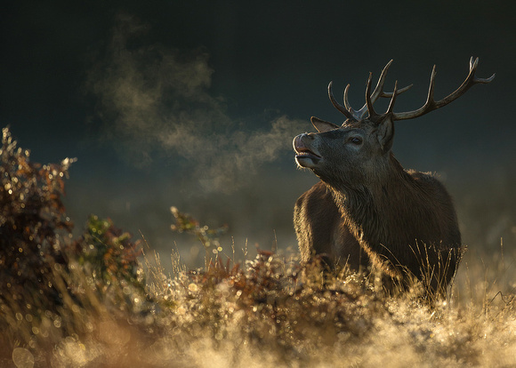 Red Deer Stag during the Rut