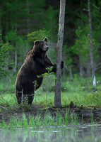 Brown Bear at Dusk