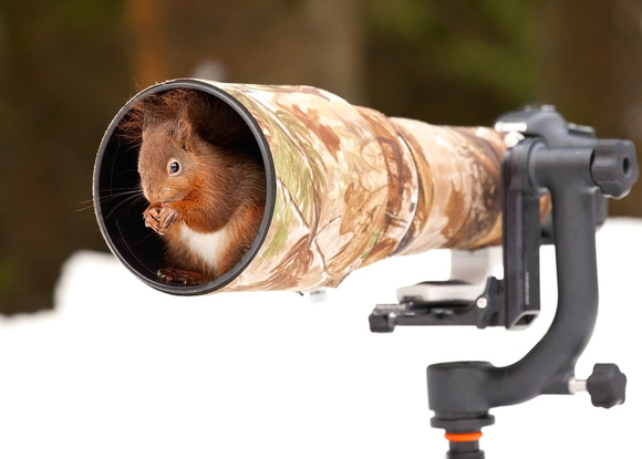 Red Squirrel in a Lens Hood. published in various newspapers.