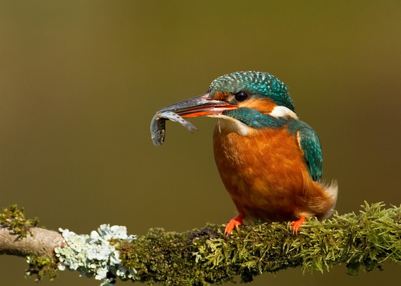 Kingfisher on a Perch, UK