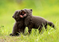 Arctic Fox Cubs Play-fighting