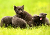 Arctic Fox with Cubs