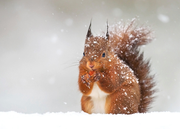 Red Squirrel in the Falling Snow. Donated to Bloodwise charity