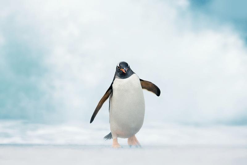 Gentoo Penguin in Storm