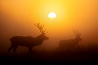 Silhouette of Red deer stags at sunrise