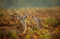 Red Deer Stag with a Hind