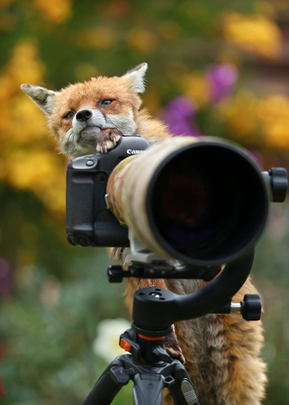 Fox Takes Picture