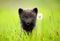 Arctic Fox with a Dandelion