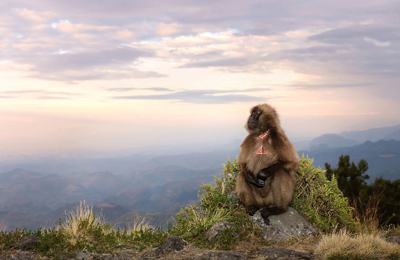Gelada at Sunset