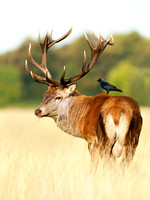Red deer stag with a jackdaw on his back