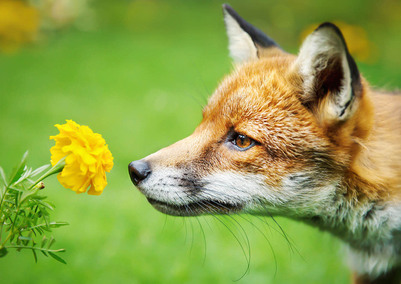 Close up of a Red fox smelling marigold flower