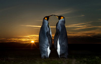 Close up of two King penguins at Sunset