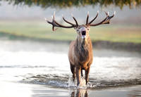 Red Deer Stag in Water