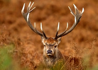 Close-up of  a Red Deer