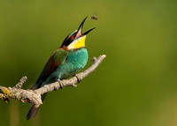 European Bee-eater Catching a Bee, Bulgaria