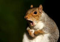 Yawning Grey Squirrel