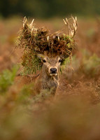 "Red Deer with a ""Crown"""