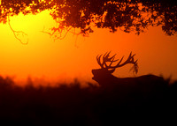 Silhouette of a Red Deer