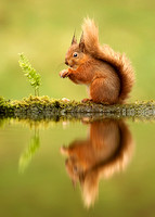 Reflection of Red Squirrel