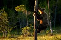 Bear Climbing the Tree