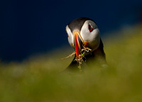 Close-up of Puffin with Nesting Material