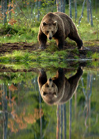 Reflection of Brown Bear Male