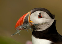Puffin with a Big Catch
