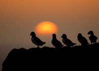 Puffins at Dusk
