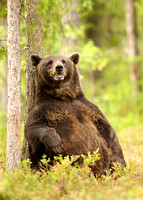 Brown Bear Male