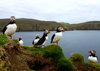 Puffin Colony in Fair Island