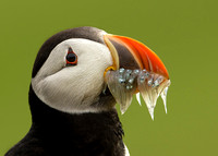 Portrait of Atlantic Puffin with Beak Full of Sand-eels