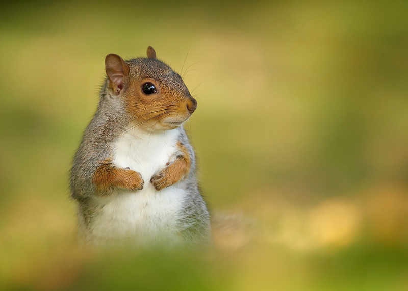Cute Grey Squirrel