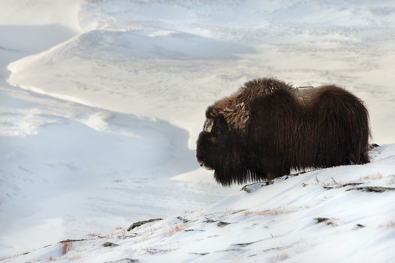 Musk Ox, Dovrefjell National Park