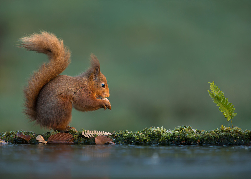 Red Squirrel at Dawn, UK