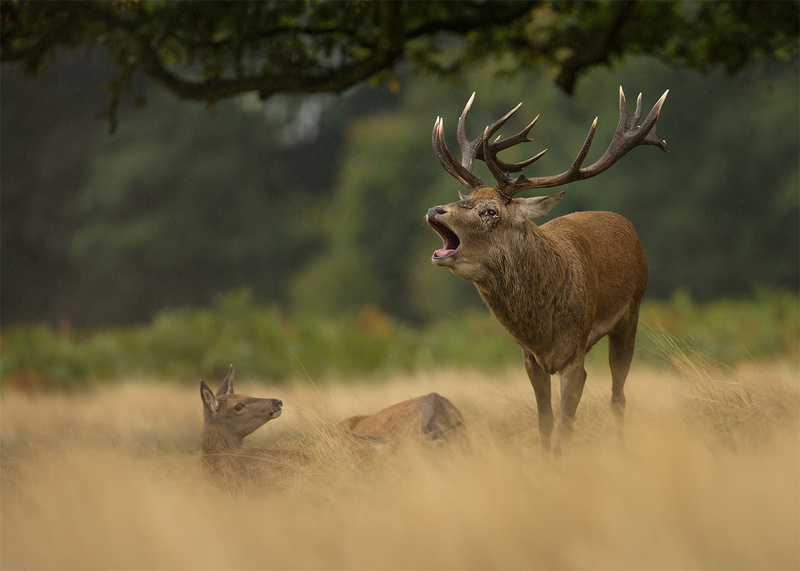 Red Deer Bellowing