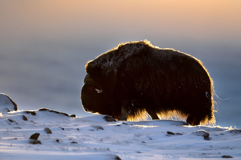 Musk Ox at Sunset, Dovrefjell