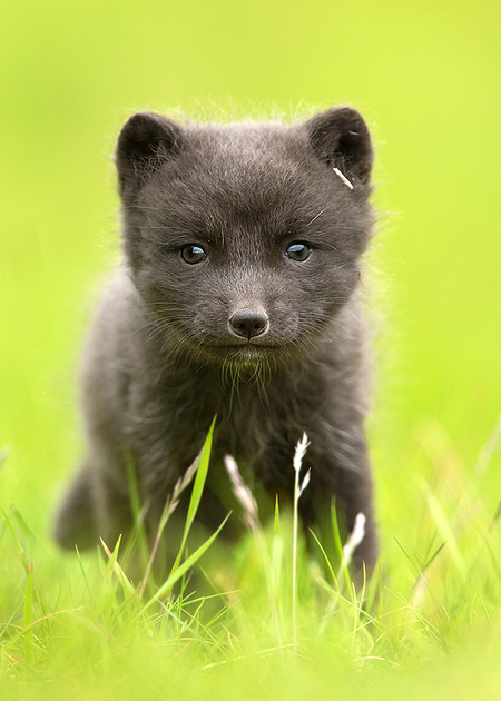 Cute Little Arctic Fox Cub