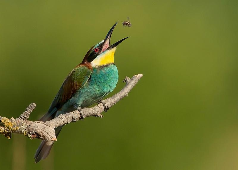 European Bee-eater Catching a Bee, Bulgaria
