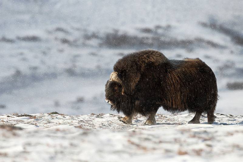 Musk Ox, Norway