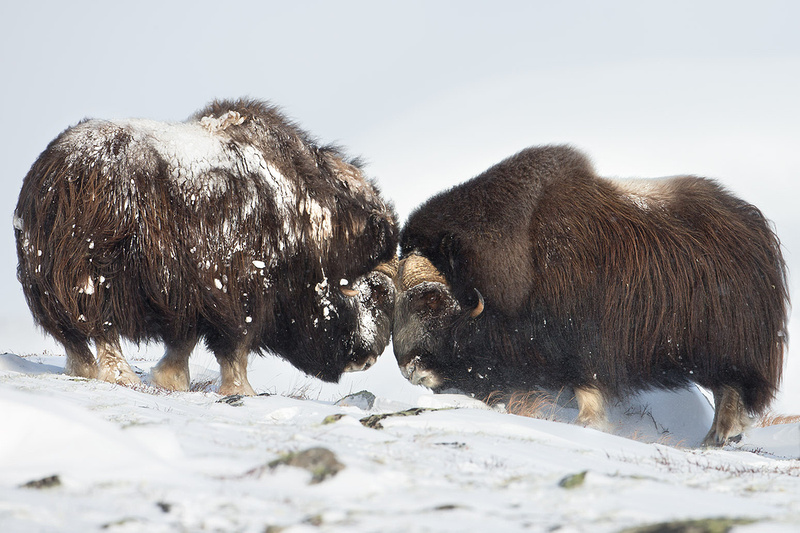 Musk Oxen Fight