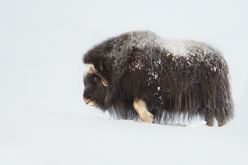 Juvenile Musk Ox in Winter
