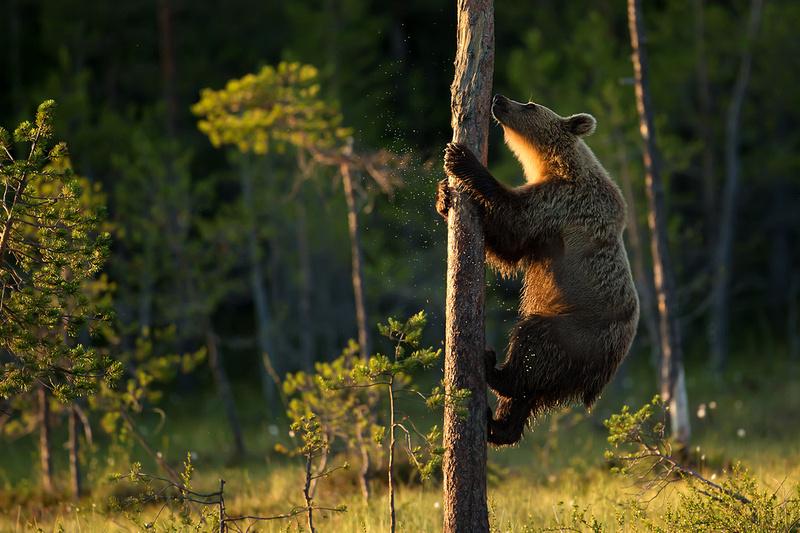Bear Climbing the Tree