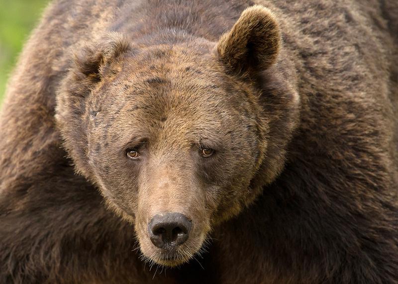 Portrait of Eurasian Brown Bear