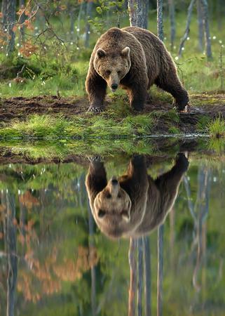 湖に映る自分を見ている熊