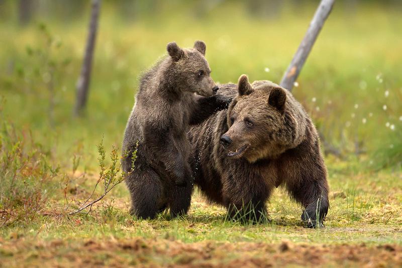 Scarred Bear Cub