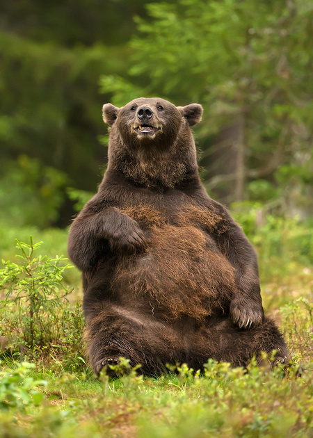 Brown Bear in Summer
