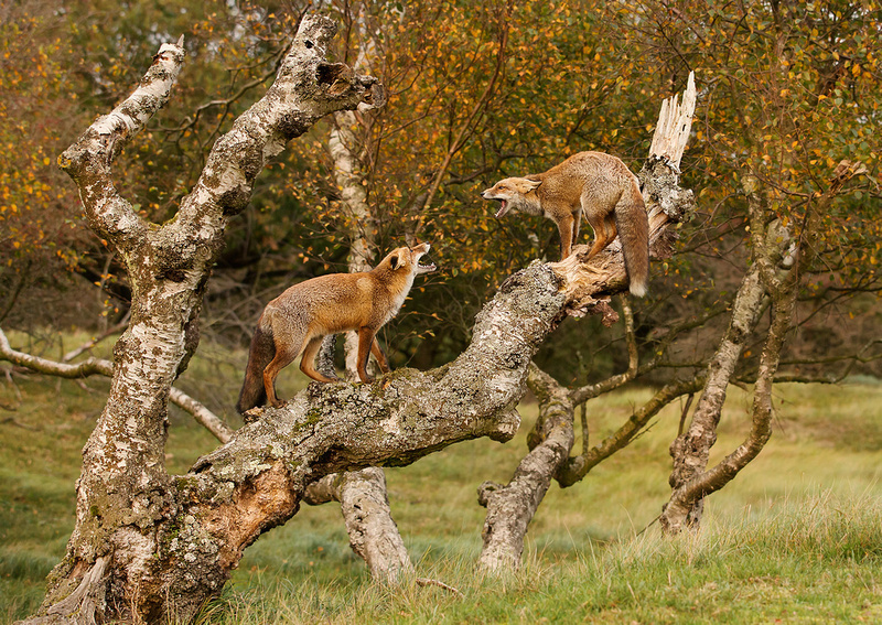 Foxes in Dispute