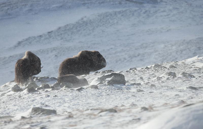 Musk Ox in Blizzard