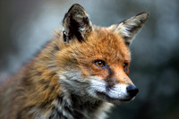 Close-up of Red Fox