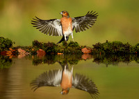 Reflection of Male Chaffinch